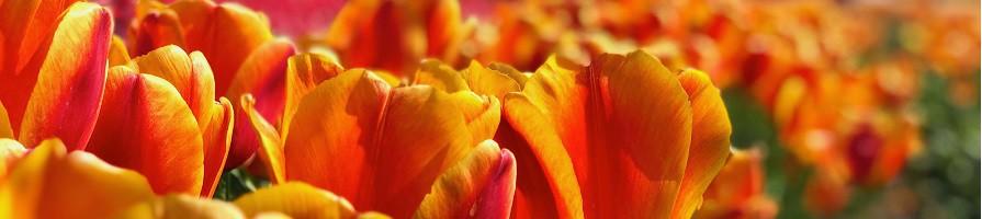 Najaar bloembollen